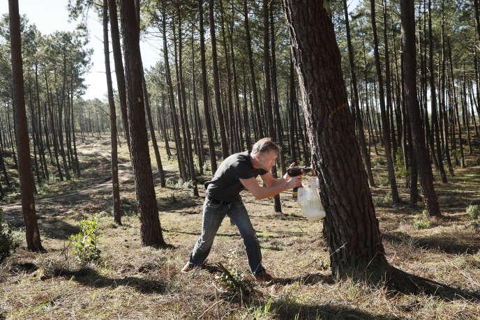A Biscarrosse (Landes), les entailles des pins servent à récolter la résine, utilisée notamment dans l'industrie cosmétique et pharmaceutique.