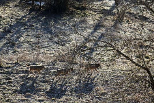 A Civitella Alfedana, dans le parc naturel des Abruzzes, l'«aire faunistique» de trois hectares abrite neuf loups en captivité.