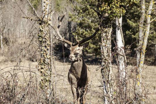 Un cerf à Villetta Barrea, dans le parc naturel des Abruzzes,le 16 février.