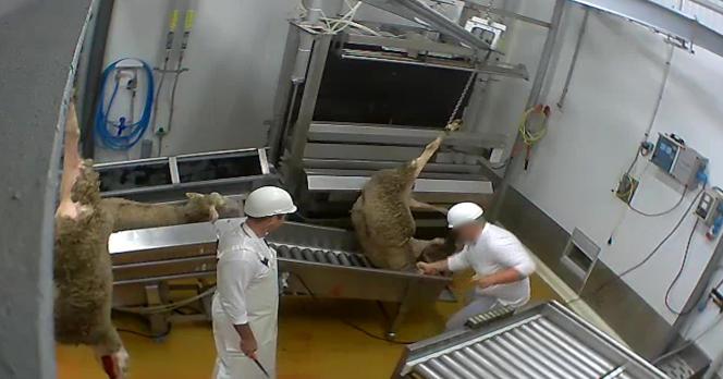 Un employé donne un coup de poing à un mouton à l'abattoir du Vigan (Gard), en février 2016.