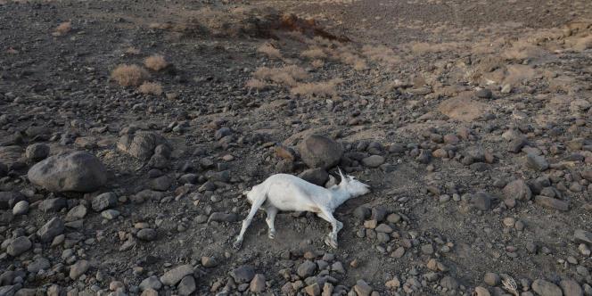 Un cadavre de chèvre à Loiyangalani, au Kenya, le 20 mars 2017. La sécheresse a causé la perte de milliers de têtes de bétail.