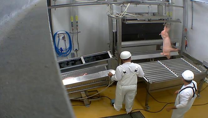 Deux ouvriers à l'abattoir du Vigan (Gard), incriminés pour des actes de maltraitance animale.