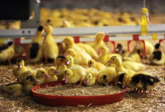 Repéré fin novembre sur des oiseaux sauvages, le virus H5N8 se propage depuis dans les élevages de palmipèdes du Sud-Ouest.