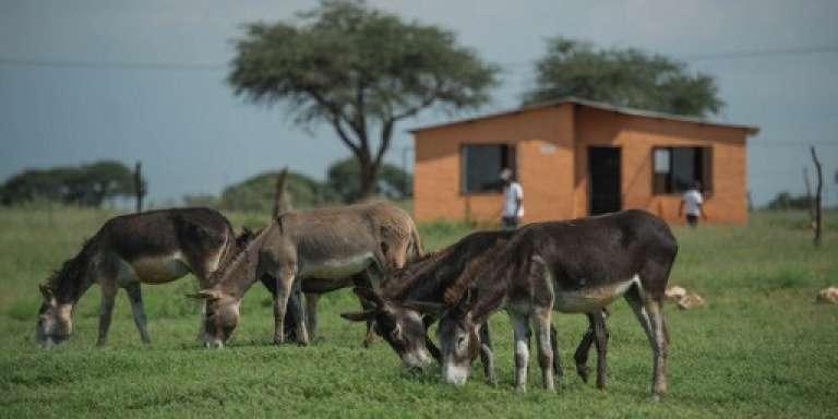 Des ânes pâturent près du village de Magosane, en Afrique du Sud, le 9 février 2017.