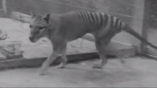 Le thylacine est un marsupial carnivore qui vivait sur l'île de Tasmanie jusqu'en1936.