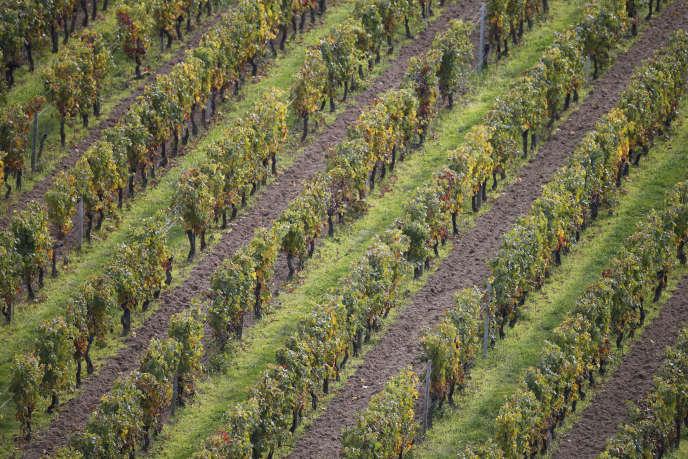 Les vignes non greffées survivent un ou deux siècles, contre vingt-cinq ans pour les vignes greffées, pointe Marc-André Selosse, professeur au Muséum national d'histoire naturelle de Paris.