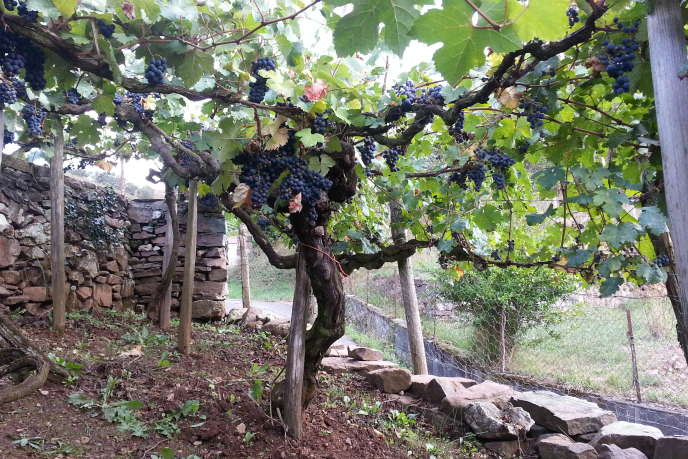La plupart des vignes de plus de 50 ans, comme ici à Irouléguy, au Pays basque, témoignent d'une bonne vitalité.
