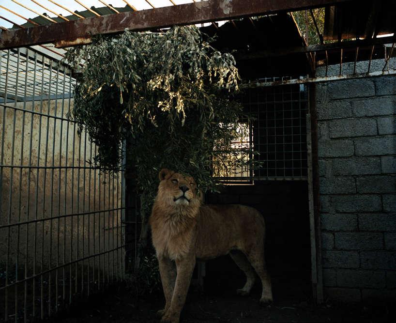Sous l'occupation djihadiste, les animaux du zoo de Mossoul sont morts de faim, sauf le lion et un ours.