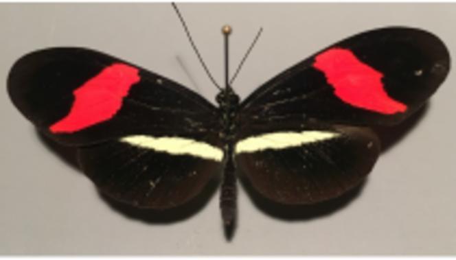 Papillon « Heliconius ».