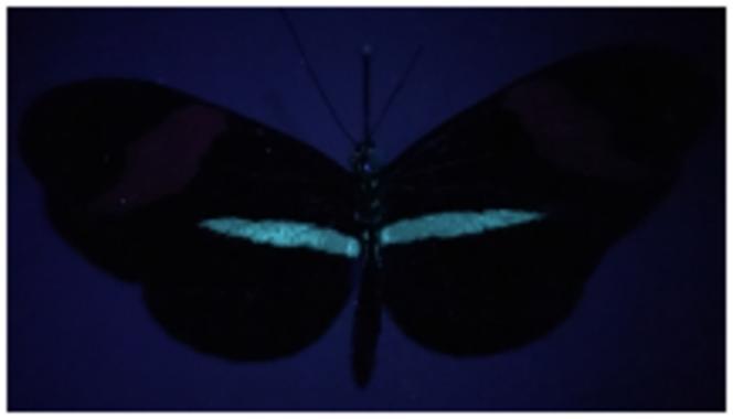 Le jaune des ailes du papillon « Heliconius », ici révélé en bleu clair sous ultraviolets.