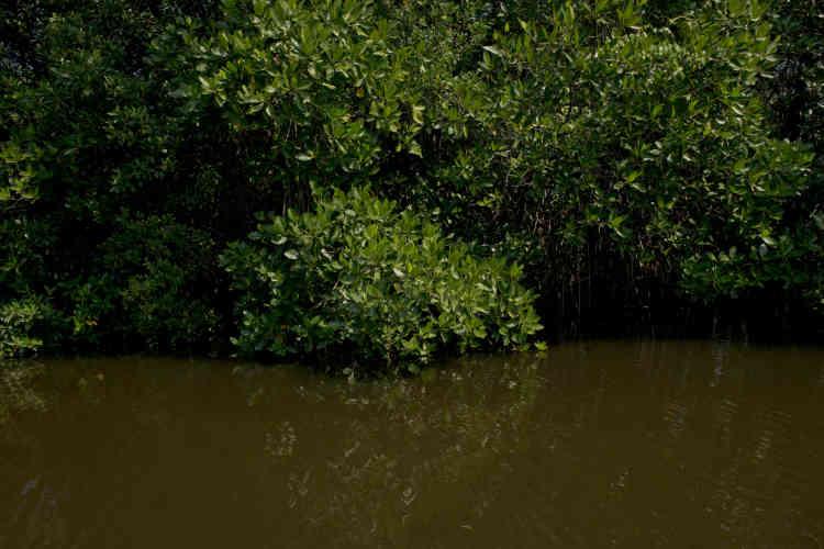 Le pays a pris conscience de l'importance de ses mangroves après le tsunami de 2004, qui fit trente mille morts rien qu'au Sri Lanka. Dans le sud de l'île, un village encore protégé par ses mangroves ne perdit que deux villageois. Dans un bourg voisin où elle avait été défrichée, six mille personnes furent emportées par les vagues.