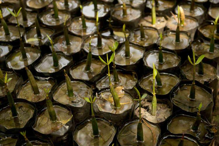Le Sri Lanka a répertorié sur son sol 32 des 70 espèces de mangrove identifiées sur la planète. Rien que dans le lagon de Chilaw, on en compte 17. Cette multitude de variétés rend la gestion de la pépinière de Sudeesa particulièrement complexe.