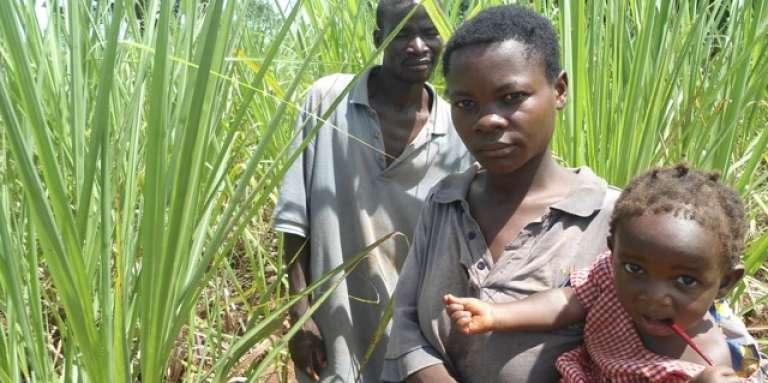 Faridah Nangobi et son mari, James Mukaaya, cultivent la canne à sucre à Bugabula South, dans le disctrict de Kamuli, en Ouganda.