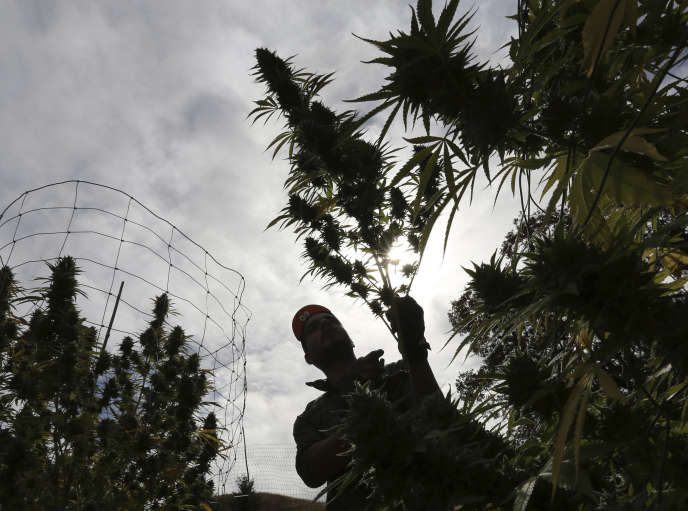 A la ferme de culture de marijuana de Laura Costa, près de Garberville (Californie), en 2016.