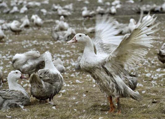 Des canards dans une ferme de Bourriot-Bergonce (Landes), à dix kilomètres de la zone touchée par la grippe aviaire dans le sud-ouest de la France, le 22 février.