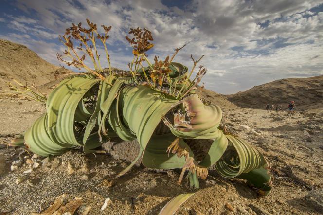 Certains spécimens de Welwitschia mirabilisont entre 1000 et 2000 ans.