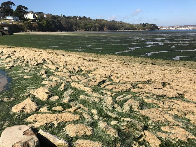 La baie de Douarnenez, mi-avril 2017, recouverte d'algues vertes en train de sécher.