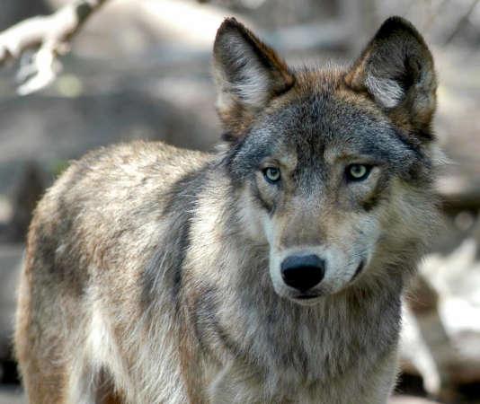 La population de loups a augmenté en France.