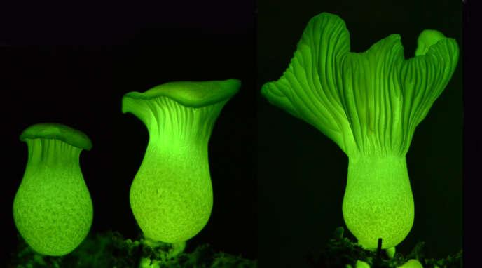Neonothopanus gardneri, champignon dont le mécanisme de bioluminescence vient d'être élucidé, à deux, trois et cinq jours de croissance.