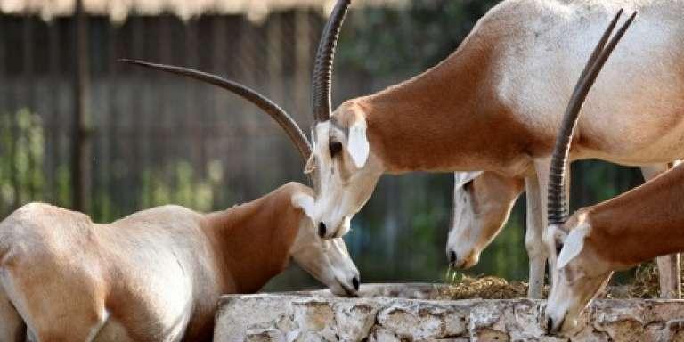 Des oryx à cou roux dans le zoo de Giza, au Caire, en novembre 2016.