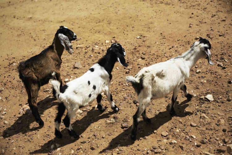 Avec la culture du maïs, l'élevage de chèvres est la spécialité du pays. Elles sont élevées pour leur viande, mais ne donne pas de lait.