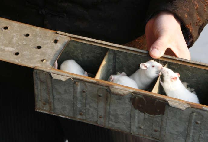 Couple de rats en Chine, en 2008.