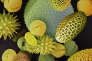 Grains de pollens de différentes fleurs et plantes vus au microscope électronique par balayage.