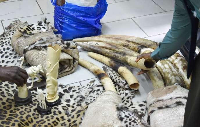 Des employés du ministère ivoirien des eaux et forêts présentent leur dernière saisie à Abidjan. Près de 30000 éléphants sont tués chaque année pour leurs défenses.