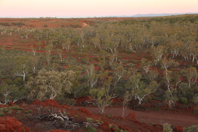 Forêt d'eucalyptus dans la région de Pilbara (Australie occidentale).