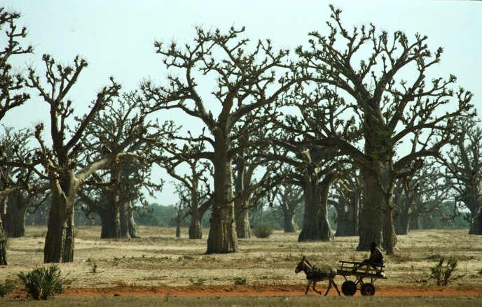 Forêt de baobabs au Sénégal.