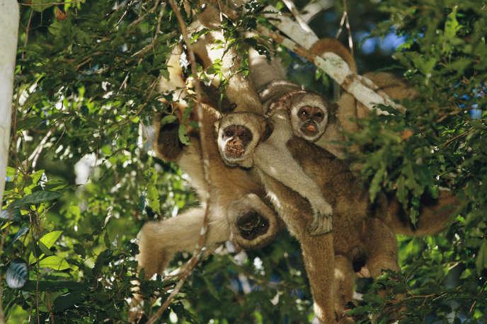 Des muriquis du Nord, dans la forêt atlantique brésilienne.