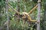 Eroïde et son jeune dans la forêt Atlantique Brésil