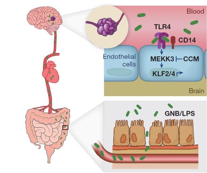 Schéma de principe du lien entre composition du microbiote et survenue d'angiomes caverneux dans le cerveau.