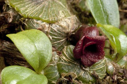 Une orchidée trouvée sur l'île de Madagascar, dont 83 % des plus de 11 000 plantes vasculaires ne poussent nulle part ailleurs.