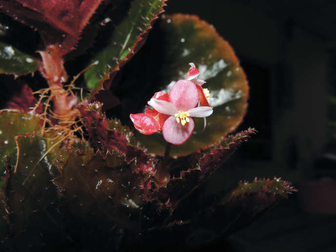 Vingt-neuf nouvelles espèces de bégonias ont été décrites, pour la plupart dans les forêts de Malaisie.