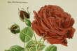 Un rosier peut parfaitement remonter sans jamais grimper ou, à l'inverse, partir à l'assaut d'un mur sans être remontant!