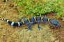 Le gecko cavernicole chinois (Goniurosaurus luii), sitôt découvert, en 1999, a fait l'objet d'un sévère braconnage afin de satisfaire les amateurs de nouveaux animaux de compagnie.