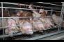 Des poules déplumées dans l'élevage des Œufs Geslin, à Chauché (Vendée).