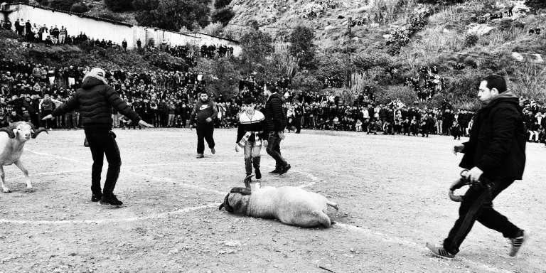 Combat de moutons dans la région d'Annaba, au nord-est de l'Algérie.