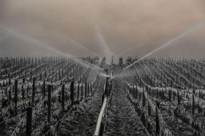 Vignoble de chablis, près d'Auxerre. Arrosage d'eau visant à protéger les vignes du gel, en avril 2017.