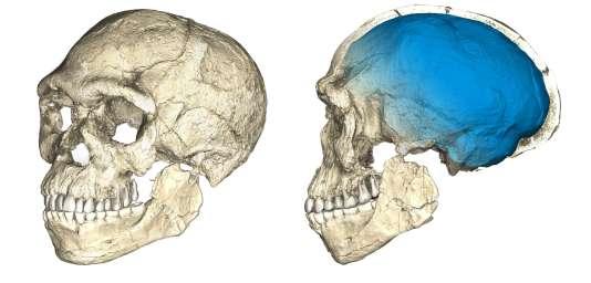 Reconstitution d'un crâne à partir de scans sur plusieurs fossiles originaux d'«Homo sapiens»trouvés sur le site marocain de Djebel Irhoud.