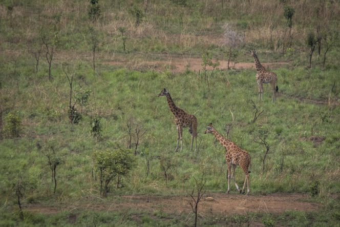 Photographie aérienne prise en ULM, le seul moyen fiable d'observer les déplacements des girafes du Kordofan dans le parc national de la Garamba, en République démocratique du Congo (RDC).