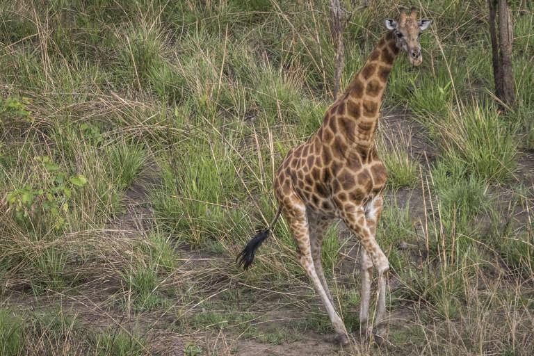 Une girafe du Kordofan dans le parc national de la Garamba, en République démocratique du Congo (RDC).
