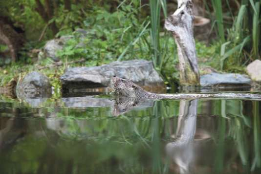 La loutre, espèce protégée, se baigne dans le cours d'eau de la réserve de vie sauvage du Trégor.