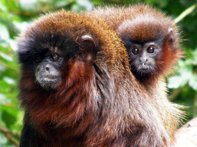« Des chercheurs du CNRS et de l'Inserm ont pu confirmer le fait que les singes apprenaient plus vite en présence de congénères et découvrir que, dans ce cas-là, certains neurones s'activaient effectivement plus fortement».