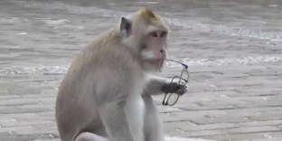 Des macaques troquent des objets volés aux touristes contre de la nourriture à Bali