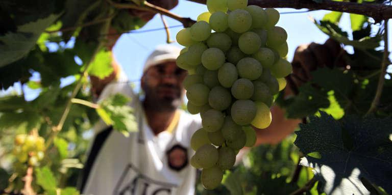 Un viticulteur à Boumerdès, en Algérie, en août 2010.