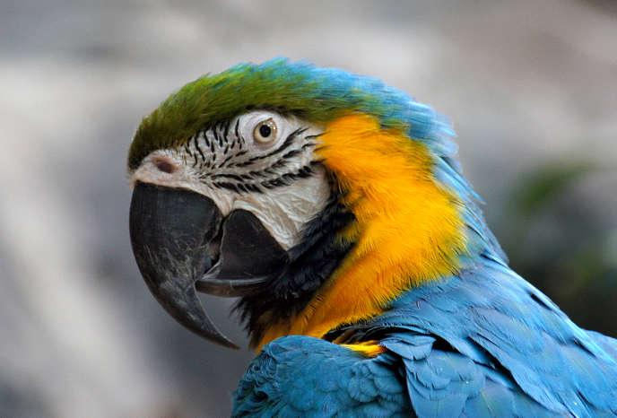 Aras bleu et jaune («Ara ararauna»).