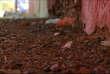 Des grillons ont envahi la ville de Chiclayo, au Pérou. Un phénomène probablement dû au réchauffement climatique.
