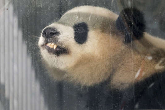 «Les pandas et les politiques ne font pas bon ménage !» selon Margaret Thatcher.